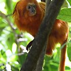Golden Lion Tamarin by Lucy Hollis