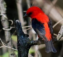 After the fire, the Scarlet Tanager returns by bertspix