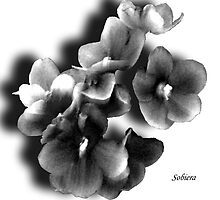 African Violets in the Shadows by Rosemary Sobiera