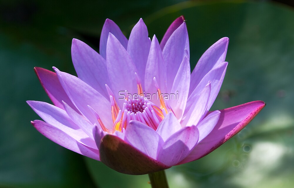 Lotus, solus, glistening in sunlight, India by SheriarIrani
