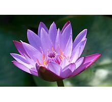 Lotus, solus, glistening in sunlight, India Photographic Print