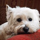 Molly the Westie by Nicholas Richardson
