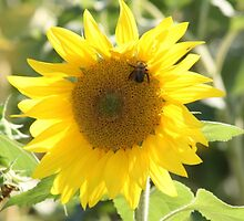 Bee with Sunflower by bwventures