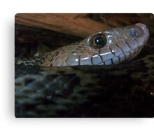 Curious Snake Canvas Print