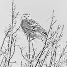 Snowy Owl 2014 4 Black and White by Thomas Young