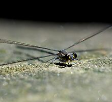 Dragonfly on Rock by Mark Snelson