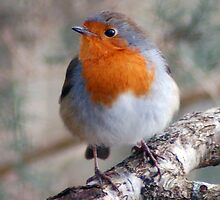 Robin red-breast by Julie M Gibson