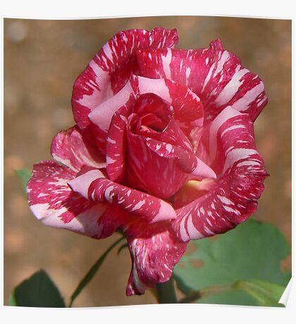 Coronation Rose Poster