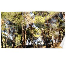 A pine-scented forest Poster
