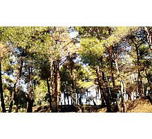 A pine-scented forest Photographic Print