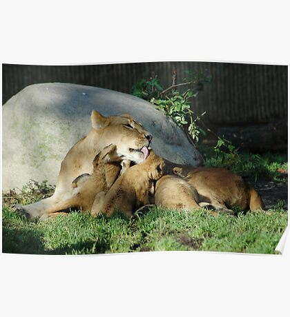 Lion Photo - Mom and Cubs Poster