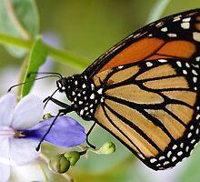 Monarch on Purple by ButterflyChick