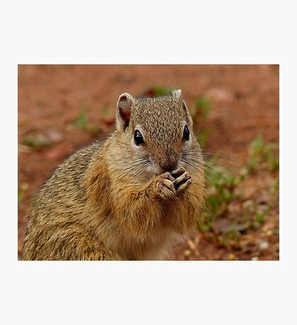 Say Your Prayers Before Breakfast - Ground Squirrel - SA Photographic Print