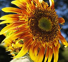 Sunflower by Betty Mackey