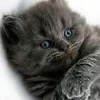 The Kitten From Britain 2 by Chris Muscat