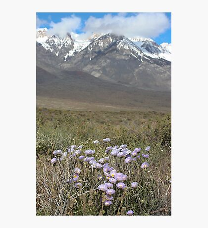 East Side Asters Photographic Print