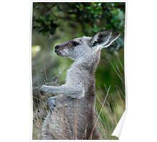 Female Eastern Grey Kangaroo - Australia Poster
