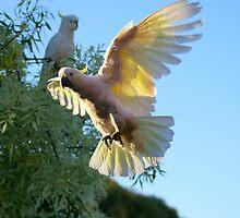 Cockatoo by hamish