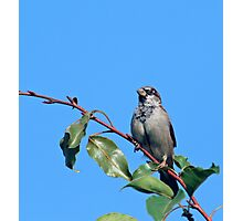 Sparrow in a Tree Photographic Print