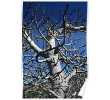 The nude fig tree Poster