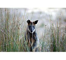 Swamp Wallaby - Australia  Photographic Print
