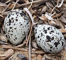 Red-Capped Plover Eggs - Australia by Mette  Spange