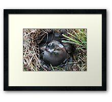 Baby Bunnies Framed Print