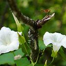 morning glory with Dragonfly by Jena Ferguson