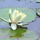 White Water Lily by Rosalie Scanlon