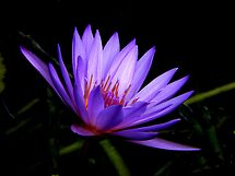 Dark Side of the Water Lily     by Rosalie Scanlon