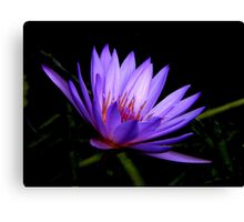 Dark Side of the Water Lily     Canvas Print