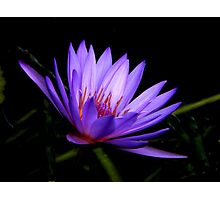 Dark Side of the Water Lily     Photographic Print