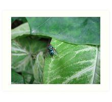 Blue bottle fly (macro), India Art Print