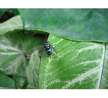 Blue bottle fly (macro), India Photographic Print