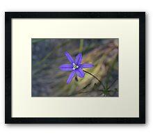 Brodiaea laxa Framed Print