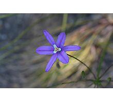 Brodiaea laxa Photographic Print