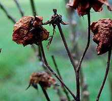 Decaying Roses by GPanesar