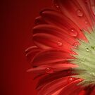 Red Gerbera - back view with water droplets by Classicperfection