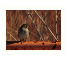 Young White-Crowned Sparrow Art Print
