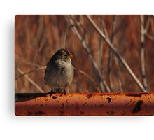 Young White-Crowned Sparrow Canvas Print