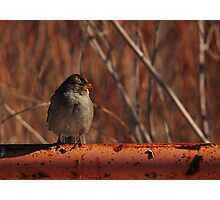 Young White-Crowned Sparrow Photographic Print