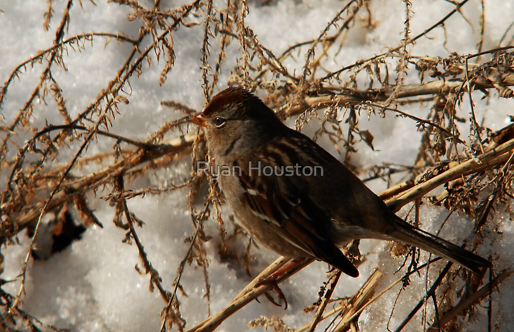 White-Crowned Sparrow - Winter by Ryan Houston