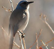 Scrub Jay - Fort Canyon by Ryan Houston