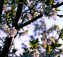Delicate Blossoms by pange