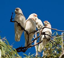 Corellas by Seesee