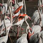 Flamingos by palmerphoto