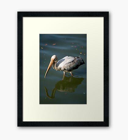 Bird walking through water Framed Print