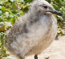 Baby Seagull by palmerphoto
