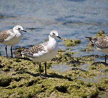 Seagulls on Rocks by palmerphoto