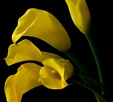 Yellow Calla Lilies  by Margaret Barry